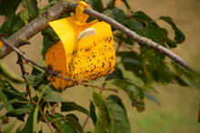 Insect Glue Trap In The Tree, Yellow Sticky Insect Trap Hanging On The Cherry Tree