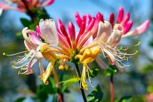 Honeysuckle (Lonicera Periclymenum) On A Sunny August Afrernoon