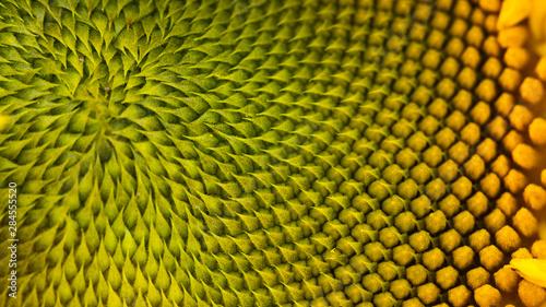 Montage in der Fensternische Spirale The spiral part of the center of a sunflower flower close-up