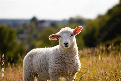 A yong sheep in the sunset Canvas Print