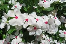 Beautiful White Madagascar Periwinkle