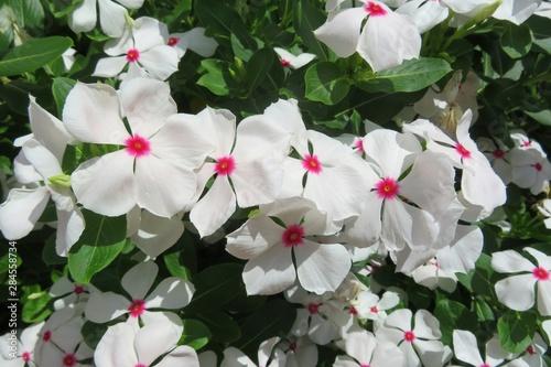 Photo Beautiful white madagascar periwinkle