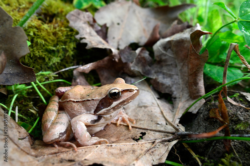 Recess Fitting Frog Springfrosch (Rana dalmatina) - Agile frog