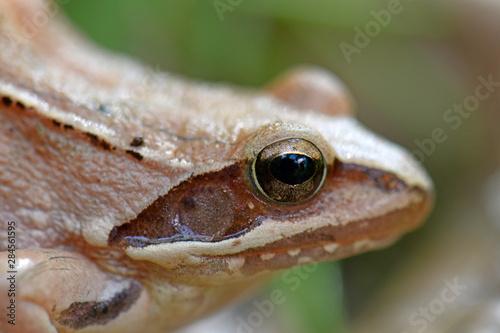 Foto op Plexiglas Kikker Springfrosch (Rana dalmatina) - Agile frog