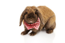 Portrait Domestic Rabbit Wating A Red Checkered Napkin, Isolated On White Background.
