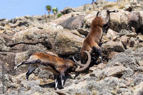 Fotografie, Tablou Very rare Walia ibex fighting, Capra walia, rarest ibex in world