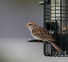 Chipping Sparrow At A Birdfeed...