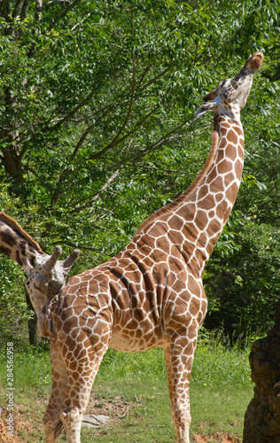 Photo  Giraffes Mating Behavior, The Flehmen Response