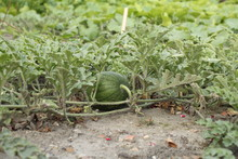 A Little Green Watermelon At A Plant In The Vegetable Garden In Summer