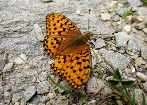 Fotografie, Obraz  plan rapproché d'un papillon nacré de la ronce sur sol minéral gris souligné de