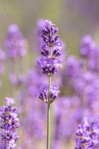 Fototapety, obrazy: Lavender on lavenders field in bloom