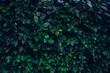 dark green leaves, abstract flora texture