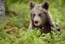 Brown Bear Cub (Ursus Arctos) In Forest In Finland