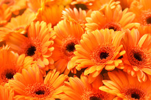 Summer/autumn Blossoming Gerbera Flowers Orange Background, Bright Fall Floral Card, Selective Focus