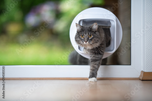 Foto front view of a young blue tabby maine coon cat coming home from outdoors passin