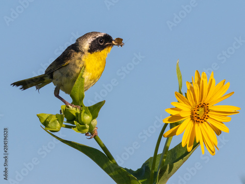 Pinturas sobre lienzo  Common yellowthroat (Geothlypis trichas) male, hunting insects in blooming prairie, Iowa, USA