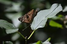 Butterfly Hackberry Emperor