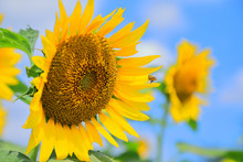 ヒマワリと蜂 Sunflower...