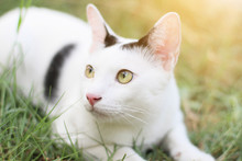 White Cat Enjoy And Relax On Green Grass With Natural Sunlight In Garden
