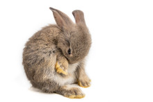Funny Bunny Or Baby Rabbit Fur Gray And Long Ear Is Sitting And Cleaning Body For Easter Day On White Background.