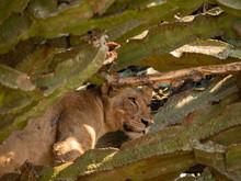Tree Climbing Lion In Queen Elizabeth Park, Uganda