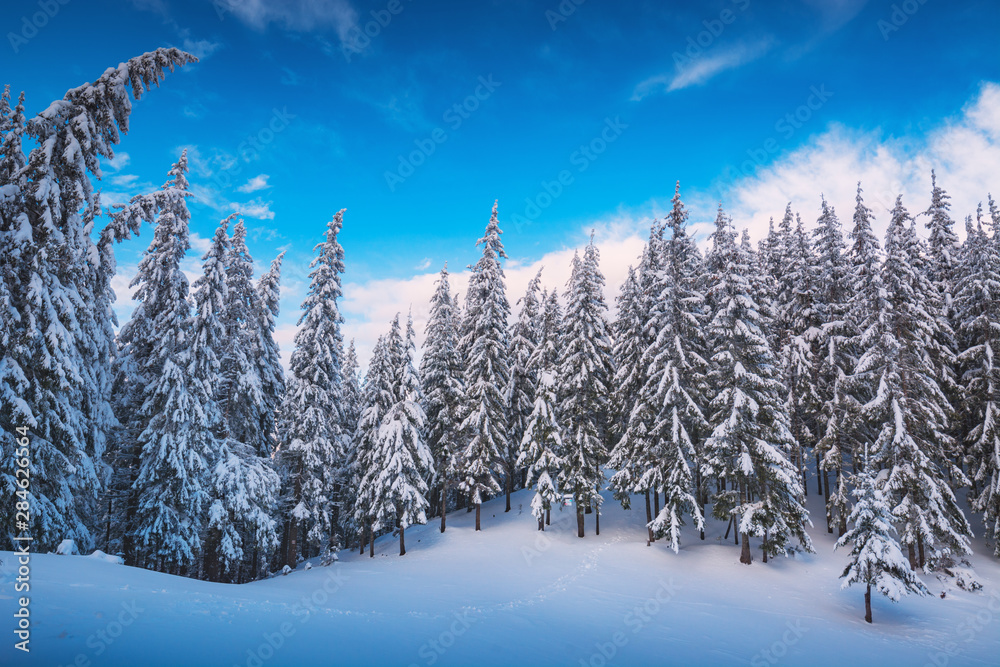 Fototapety, obrazy: Majestic snow covered spruces