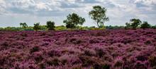 The Purple Heather On Dunwich ...