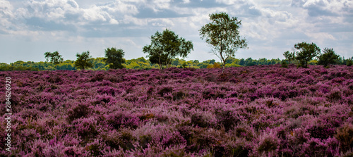 The Purple Heather on Dunwich Heath Suffolk UK Wallpaper Mural