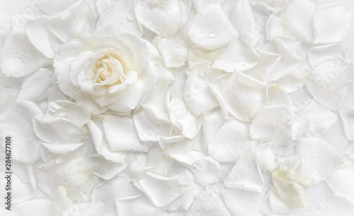 Fotografie, Obraz  Beautiful white rose and petals on white background