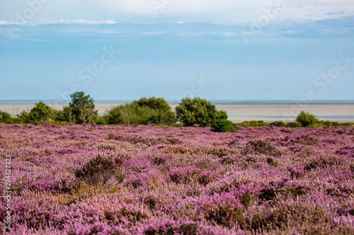 Fotografia The Purple Heather on Dunwich Heath Suffolk UK