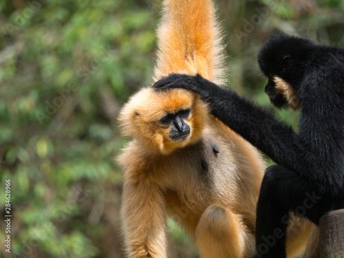 Stampa su Tela Gibbon