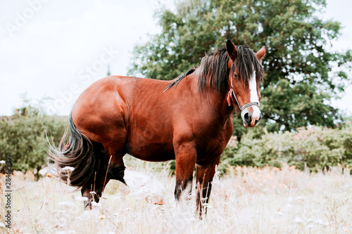 Red horse with long mane in a field