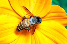 Image Of Giant Honey Bee(Apis ...
