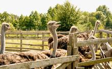 Ostrich, African Ostrich, Dese...