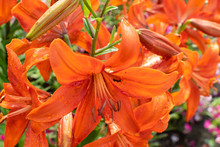 Macro Shot Of Beautiful Red Tiger Lily Flowers Or Lilly Blossoms