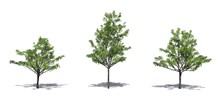 Set Of Japanese Maple Trees In The Summer With Shadow On The Floor - Isolated On White Background