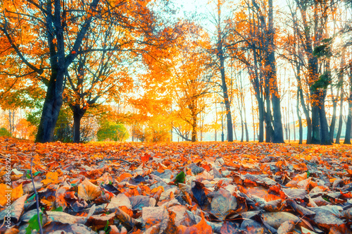 Canvas Prints Autumn Autumn landscape - yellowed trees and fallen autumn leaves in city park alley in cloudy weather