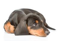 Sad Dachshund Puppy Looking Up. Isolated On White Background