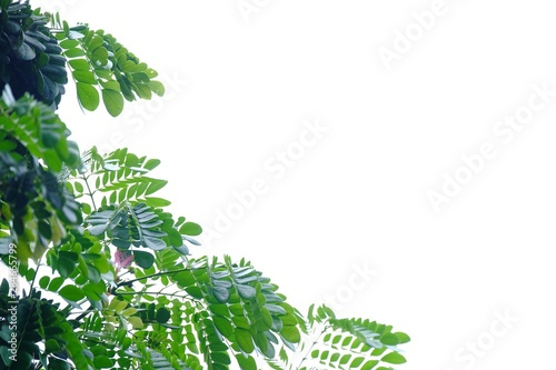 Fotografia  Tropical tree leaves on white isolated background for green foliage backdrop
