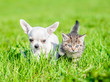 canvas print picture - Chihuahua puppy and a kitten walking together on green summer grass
