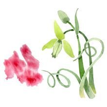 Albuca Canadensis Floral Botanical Flowers. Watercolor Background Set. Isolated Albuca Illustration Element.
