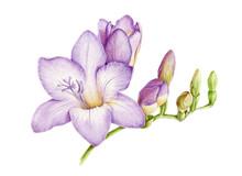 Watercolor Illustration Of Vio...