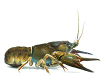 Female Noble Crayfish Astacus ...
