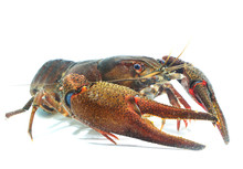 Male Noble Crayfish Astacus As...