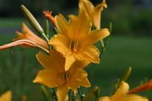 Hemerocallis Stella De Oro - Taglilie