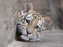 Portrait Of Manchurian Tiger Cub Lying And Looking Unhappy.