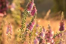 Purple Foxglove - Digitalis Purpurea- At Sunrise