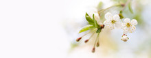 Soft Tender Springtime Invitation Background. Fruit Tree Blossoming Branch White Petal, Yellow Stamens Flowers. Spring Garden Floral Frame. Shallow Depth Of Field, Macro View. Copy Space.