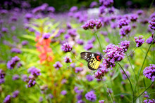 Butterfly On Verbena Floer In The Garden
