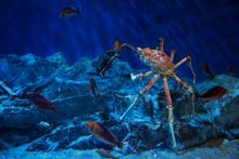 Japanese King Crab In Aquarium